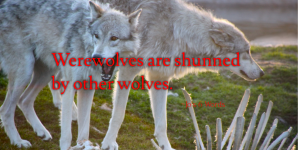 Werewolves are shunned by other wolves.